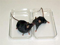 C57 lean and MSG obese mice